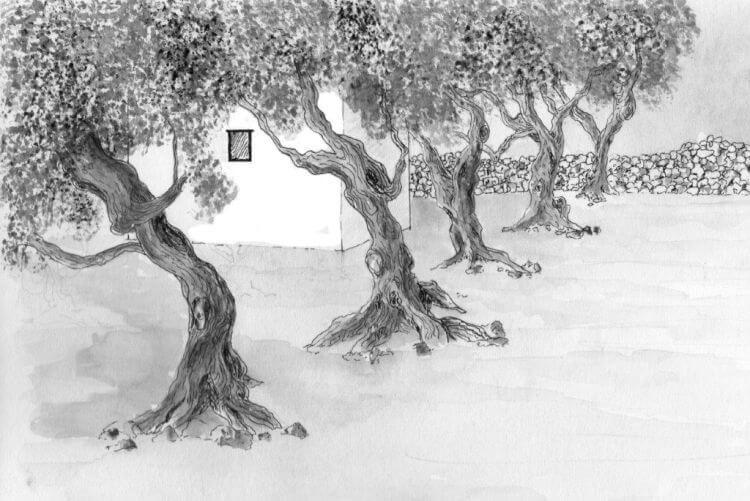 olive trees sketch