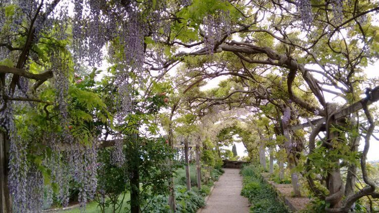 wisteria at la foce
