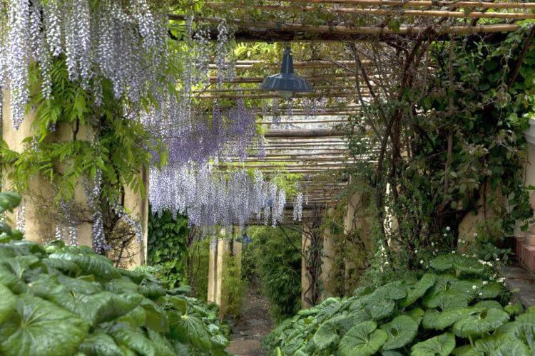 wisteria at villa della pergola garden