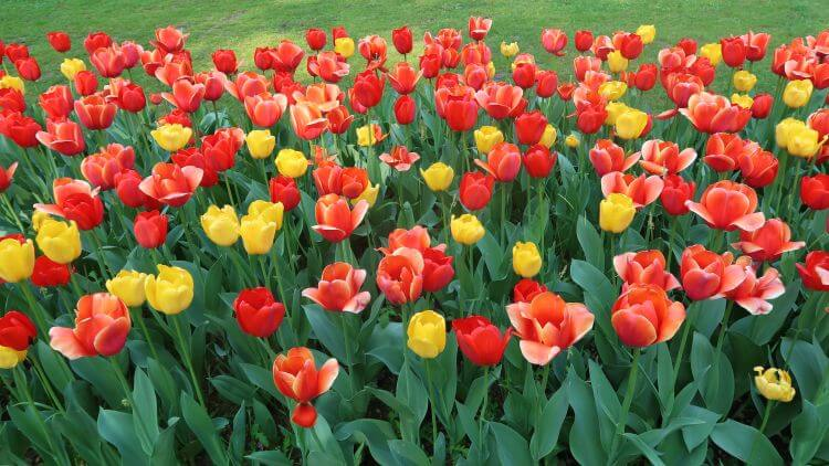 Sigurta garden tulips