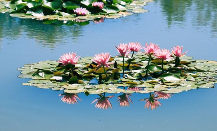waterlilies on lily pads